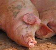 Cerdo rosado grande en la pocilga de la granja en el campo Fotos de archivo