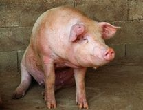 Cerdo rosado grande en la pocilga de la granja en el campo Foto de archivo