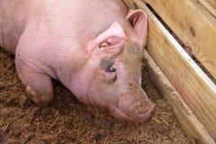 Cerdo rosado sucio en pluma de la granja Imagen de archivo