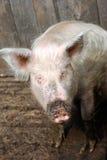 Cerdo rural Imagenes de archivo
