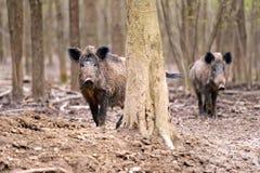 Cerdo salvaje foto de archivo
