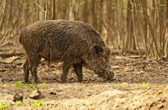 Cerdo salvaje imagenes de archivo
