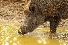 Cerdo salvaje foto de archivo libre de regalías