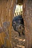 Cerdo salvaje Fotografía de archivo