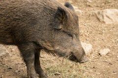 Cerdo salvaje Imagen de archivo libre de regalías