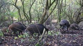 Cerdo salvaje almacen de metraje de vídeo
