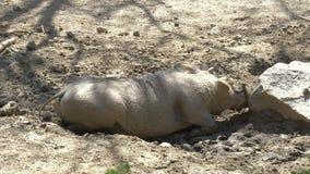 Cerdo salvaje africano - facoquero almacen de video