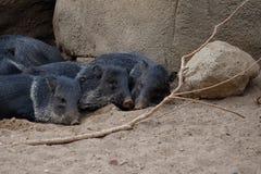 Cerdo salvaje del pecarí Fotografía de archivo libre de regalías