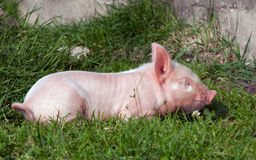 Cerdo soñoliento fotografía de archivo