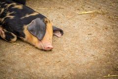 Cerdo soñoliento fotos de archivo libres de regalías