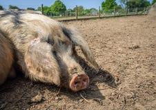 Cerdo soñoliento enorme que pone en la tierra fotos de archivo libres de regalías