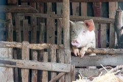 Cerdo solo imagen de archivo