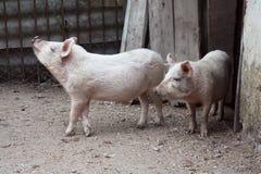Cerdo sucio. Fotografía de archivo