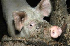 Cerdo sucio Foto de archivo