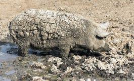 Cerdo sucio de fango Fotos de archivo