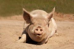 Cerdo sucio grande que habla que pone hacer frente adelante en su estómago en la suciedad fotografía de archivo libre de regalías