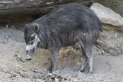 Cerdo verrugoso del Visayan Foto de archivo