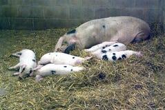 Cerdo viejo del punto de Gloucestershire Imagen de archivo libre de regalías
