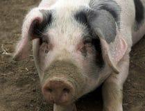 Cerdo viejo del punto de Gloucestershire Foto de archivo