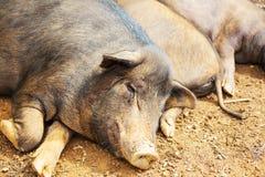 Cerdo vietnamita Imagenes de archivo
