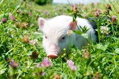 Cerdo vietnamita, comiendo la hierba en un día asoleado Foto de archivo libre de regalías