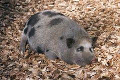 Cerdo vietnamita de la barriga Foto de archivo