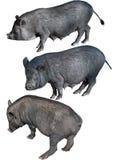 Cerdo vietnamita de la barriga Fotografía de archivo libre de regalías