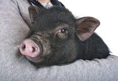 Cerdo vietnamita en estudio fotografía de archivo libre de regalías