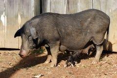Cerdo y bebé Foto de archivo