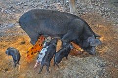 Cerdo y bebés de la madre Imagen de archivo libre de regalías
