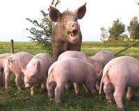 Cerdo y cochinillos en prado Imagenes de archivo