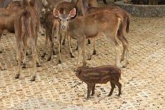 Cerdo y deers salvajes Foto de archivo libre de regalías