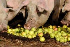 Cerdo y las manzanas Imagenes de archivo