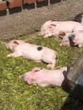 Cerdos Fotos de archivo libres de regalías