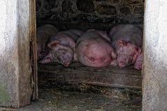 Cerdos imagenes de archivo