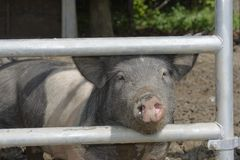 Cerdos Fotos de archivo
