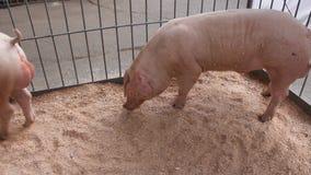 Cerdos almacen de video