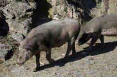 Cerdos Foto de archivo