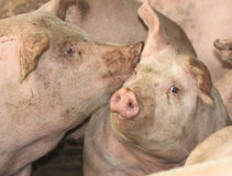 cerdos Fotografía de archivo libre de regalías