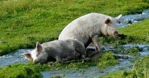 Cerdos fotografía de archivo