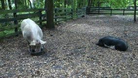 Cerdos bien alimentados en una granja en la Florida metrajes