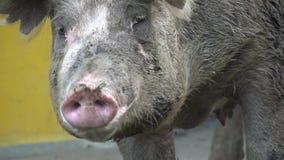 Cerdos, cerdos, cerdos, animales del campo almacen de video