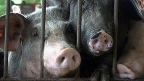 Cerdos, cerdos, cerdos, animales del campo almacen de metraje de vídeo