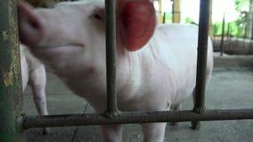 Cerdos, cerdos, cerdos, animales del campo metrajes
