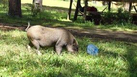 Cerdos, cerdos del bebé, cochinillos, cerdos, animales del campo metrajes