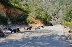 Cerdos corsos cerca del camino de la montaña Fotografía de archivo libre de regalías