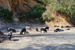 Cerdos corsos cerca del camino de la montaña Imagen de archivo