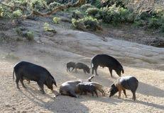 Cerdos corsos en la cuesta de montaña Imagenes de archivo