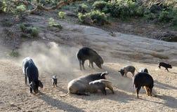Cerdos corsos en la cuesta de montaña Foto de archivo