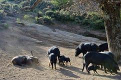 Cerdos corsos en la cuesta de montaña Imagen de archivo libre de regalías